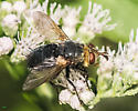 Archytas species? - Archytas