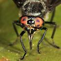 deer fly - Chrysops cincticornis - female