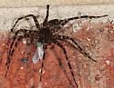 Black spider - Dolomedes tenebrosus
