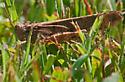 Carolina Grasshopper - Dissosteira carolina - male
