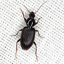 Ground Beetle - Agonum punctiforme