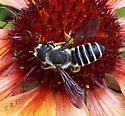 Unknown Megachile - Megachile pugnata - female