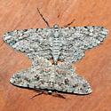 Iridopsis defectaria - male - female