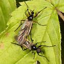 March Flies - Bibio slossonae - male - female