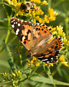 Painted Lady for Indiana - Vanessa cardui