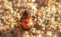 Unknown spider - Steatoda borealis