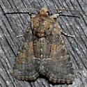 Tawny Marbled Minor #4 - Oligia latruncula