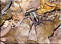 Large burnt orange spider to ID - Ctenus hibernalis - female