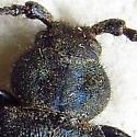Blue-Black Longhorn - Callidium