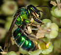 Agapostemon... Green bee or Cuckoo wasp? - Augochloropsis