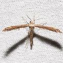 Lioptilodes albistriolatus