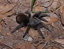 Tarantula - Aphonopelma chiricahua - Aphonopelma chiricahua - female