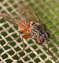 introduced muscid fly - Phaonia subventa - female