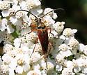 Long-horned Beetle ID Request - Typocerus acuticauda