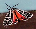 Pretty Moth Sept. 12, 2014 - Apantesis parthenice