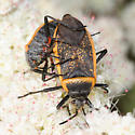 Bordered Plant Bug - Largus californicus