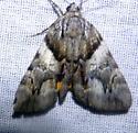 Catocala blandula  - Catocala blandula
