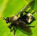 Laphria divisor or posticata? - Laphria divisor - female
