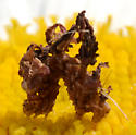 camouflage larva - Synchlora
