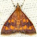 Phoenicean Pyrausta Moth - Pyrausta phoenicealis