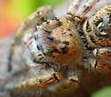 Female Phidippus putnami? - Phidippus putnami - female