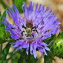 Bee on Stokes Aster - Ptilothrix bombiformis