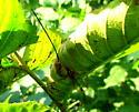 Megarhyssa macrurus - Megarhyssa greenei - female