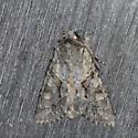 Moth 2 - Achatia distincta