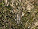 Locust - Melanoplus differentialis - female