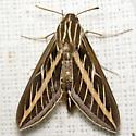 White-lined Sphinx - Hodges #7894 - Hyles lineata