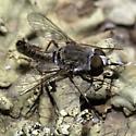 Bee fly on lichen - Epacmus