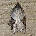 Moth-8 - Acleris forbesana