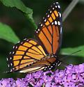 Viceroy Butterfly - Limenitis archippus
