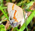 Lycaenidae - Calycopis cecrops