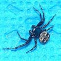 Dark crab spider? - Bassaniana versicolor - male