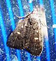 Orange-spotted Idia Moth? - Idia