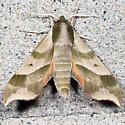 Virginia Creeper Sphinx - Hodges#7885 - Darapsa myron