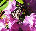 Pale Swallowtail? - Papilio eurymedon - male
