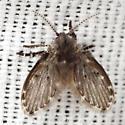 Filter Fly - Clogmia