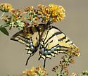 Swallowtail but what species? - Papilio multicaudata