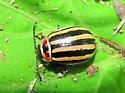 Leaf beetle? - Kuschelina