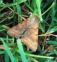 moth a 061413 - Caenurgina crassiuscula