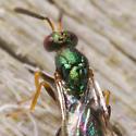 Another Metallic Green  - Torymus - female
