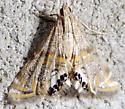 Petrophila kearfottalis - Petrophila cappsi