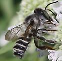 Lasioglossum? - Megachile texana - male