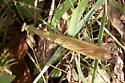 Chinese Mantid - Tenodera sinensis - male