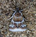 Moth - Nannobotys commortalis