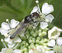Fly ID Request - Dilophus - male