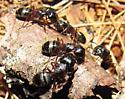 Camponotus herculeanus - female