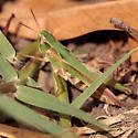 Gomphocerinae? - Orphulella speciosa - female